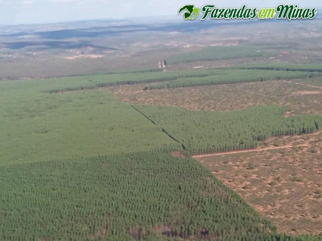 Áreas grandes com eucalipto plantado